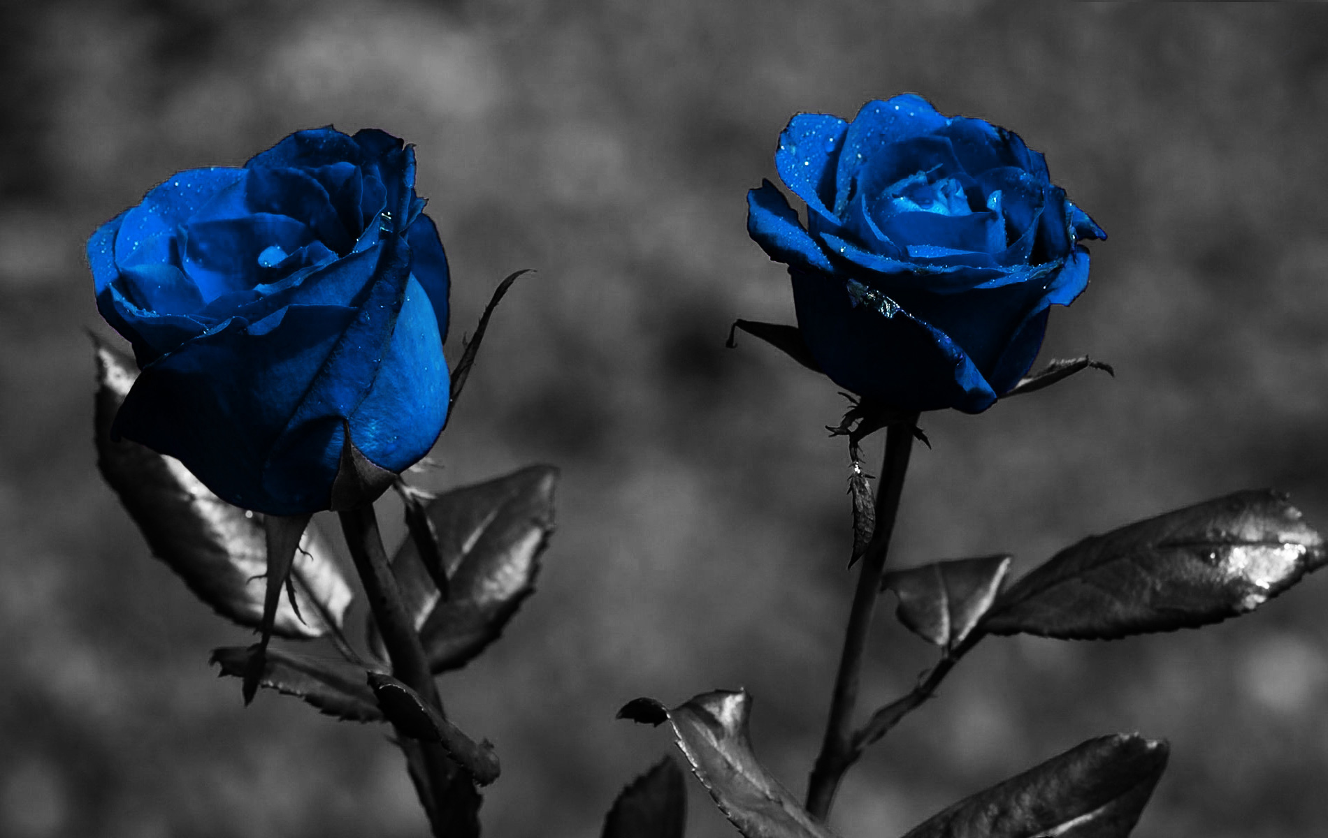 blue_roses_widescreen-other.jpg